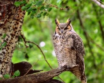 Owl Photography, Bird Photography, Animal Photography, Great Horned Owl, Wildlife Photography Fine Art Photo