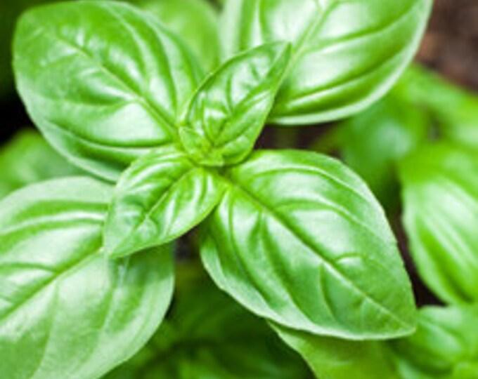 Basil Essential Oil, Ocimum Basilicum, Pure Basil Essential Oil, Therapeutic Basil Essential Oil, Antioxidant, Buy Basil Essential, Kosher