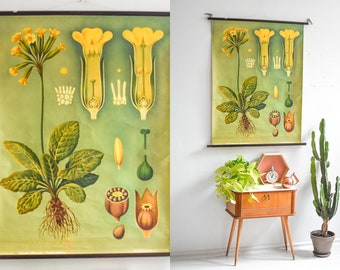 Primrose botanical print, botanical posters, antique botanical prints, botanical wall chart,black poster,educational poster, pull down chart