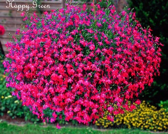 3000 seeds - Trailing Lobelia - CASCADE SERIES RED - Lobelia Pendula
