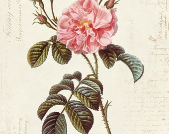 Vintage Botanical Flower Rose on French Ephemera Print 8x10 P44