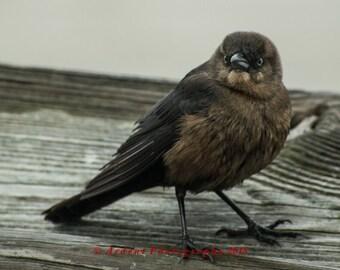 Angry Bird Photograph Brown Bird in a Rain Storm Ocean Bird Atlantic Coast Grumpy Bird on a Dock Wall Art Home Decor Office Decor