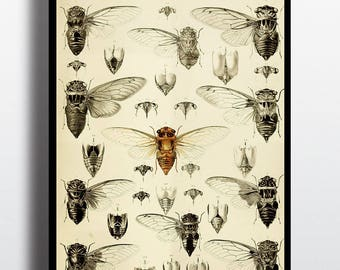 Ancienne Illustration cigale insectes insecte impression estampes Art mur Decor entomologie cadeau taxidermie Nature décor imprimés Vintage