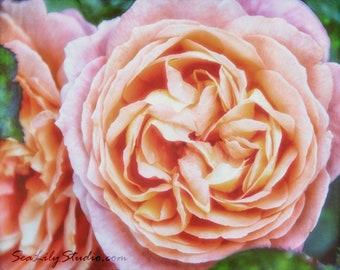 Vintage Rose : flower photography rose pink blush garden spring summer pastel home decor 8x10 11x14 16x20 20x24 24x30