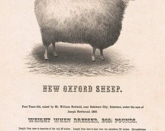 New Oxford Sheep