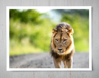 Male Lion at Sunset - Animal Photography, Africa Safari Archival Giclee Print, Wildlife Photo - Multiple Sizes Available