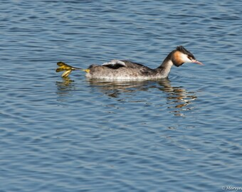 Grebe (amusing complete with outboard motor)
