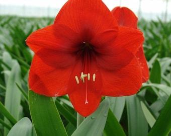 1 Amaryllis Hippeastrum Bulb Red Color Perennial Summer Flower