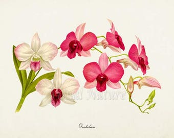 Dendrobium Orchid Flower Art Print,  Orchid Botanical Art Print, Flower Wall Art, Flower Print, Floral Print, pink white orchid art print