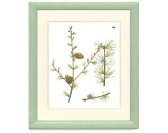 Japanese Larch, Pine Cone, Vintage Tree Print, Botanical Book Plate, Evergreen, Nature, Landscape, Frameable Art, RAY/1977/49