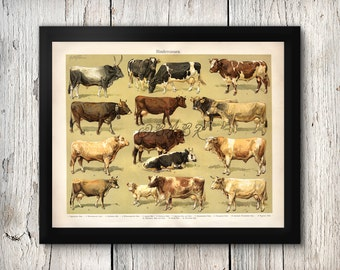 Antique Print Cows Breeds Bulls Bovine Farm and Country Life Livestock Agriculture Repro Oversized Poster Print 8x10 to 30x40