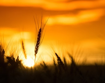 Sunrise Over a  Wheat Field in Rural America -  An Archival Pigment Fine Art Print of a Single Shaft of Wheat at Sunrise on the Great Plains