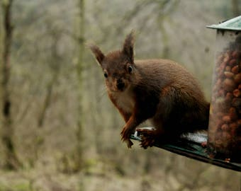 Red Squirrel Photography Canvas