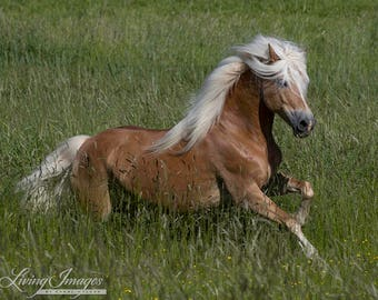 Golden Horse Runs in the Meadow - Fine Art Horse Photograph - Horse - Haflinger - Fine Art Print