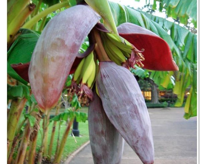 Banana Tree Photograph