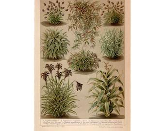 1894 PLANTS GRASSES BUSHES print original antique botanical plant lithograph