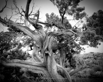 Character of a Juniper Tree - Tree Photography - Lone Tree - Minimalist Photography - Black and White Photo