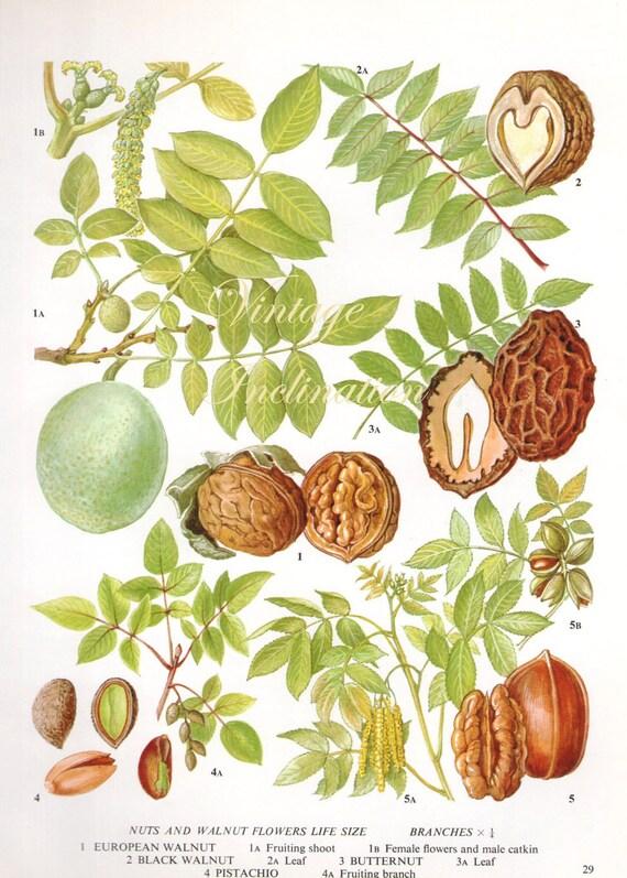 vintage botanical print antique walnut pecan pistachio nut 29