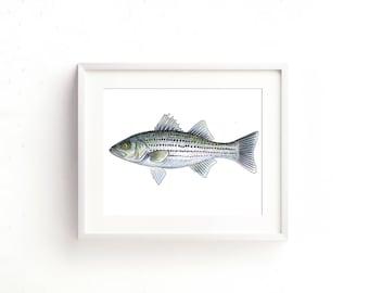 Striped Bass Watercolor Fine Art Print