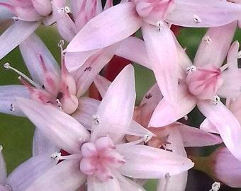 Jade plant cuttings, succulent plant, drought tolerant,