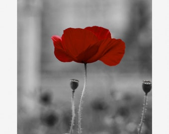 Late Bloomer - Poppy, Black and White, Nature Photography Print