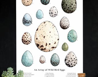 An Array of Wild Bird Eggs - Nature Collection - School Room Wall Art - 12 x 18 Poster - Montessori, Educational, Natural History