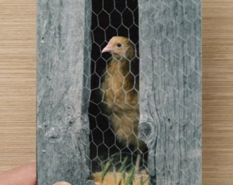 Chicken at the Window on Blank Note Card Farm Animal Photography Chicken Photo Farm Baby - Cute Friendship Card Window on the World
