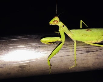 "Digital photo Hawaii ""Mantis at night""----Apa Gallery Artwork"