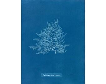 Antique botanical print, Minimalist nature art, Natural minimal, Minimalism, Seaweed, Ocean art, Blue white, Deep blue, Delicate, Elegant