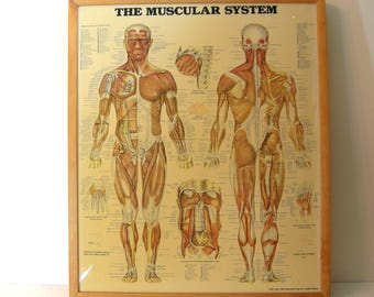 The Muscular System Anatomical Chart Co Framed Print 1986