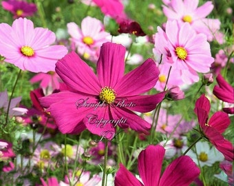 40 Seeds Cosmos Sensation Drought Tolerant Annual Attracts Butterflies Wildflower Border Gardens Cut Flowers Easy to Grow
