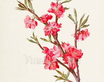 Cambridge Carmine Peach Tree Flower Art Print, Botanical Art Print, Flower Wall Art, Flower Print, Floral Print, Pink Flower
