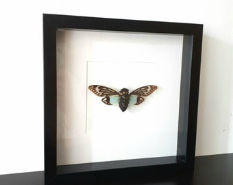 Real pinned cicada insect taxidermy curiosity