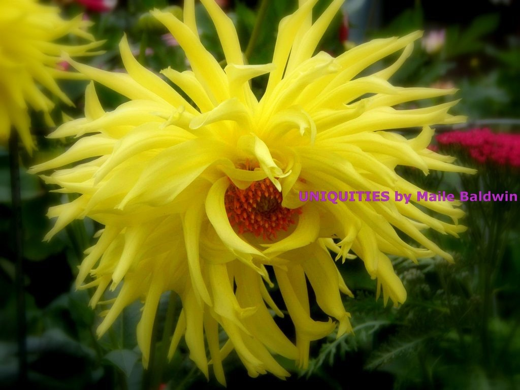 Yellow dahlia flower with soft wispy petals photograph 8 x 10 zoom izmirmasajfo