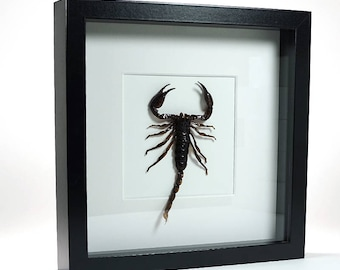 Mounted insects and butterflies for sale! Scorpion in frame!
