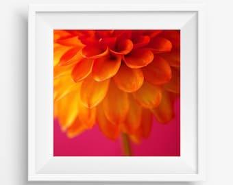 Orange Dahlia on Pink