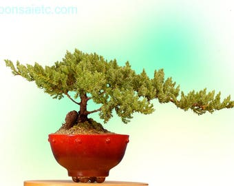 6+ Year Old Juniper Bonsai Tree in Handpainted Red Setku Bowl