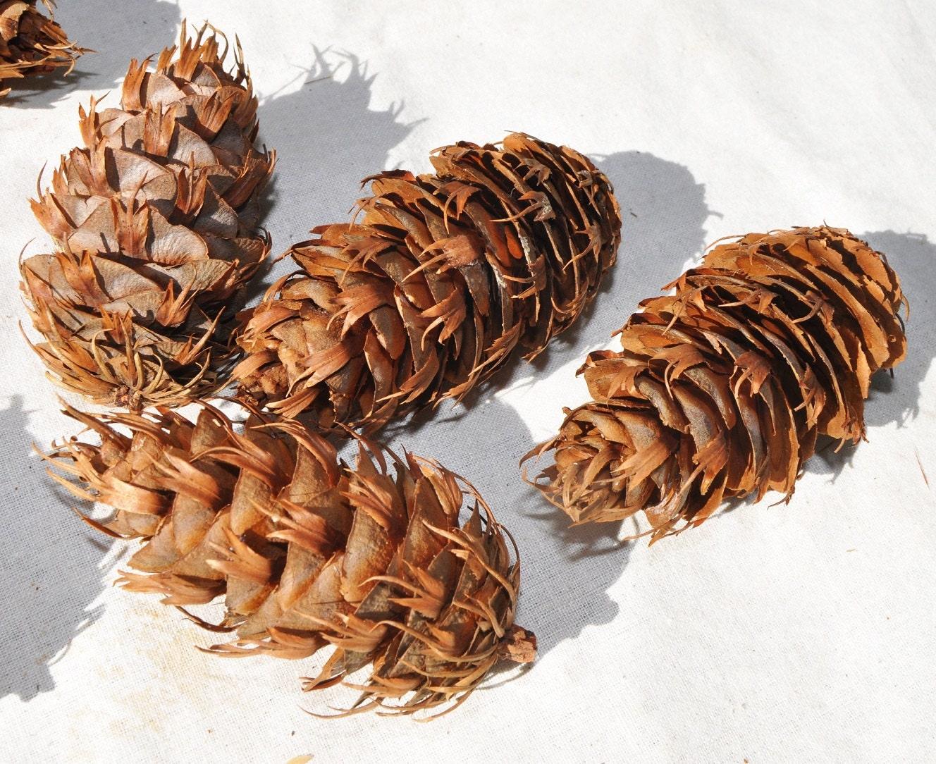 20 Fir Cones, Douglass Fir Cones, Pine Cones, Pinecone, Pinecones ...