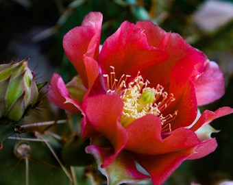Prickly Pear Cactus Flower Digital Photography Instant Download