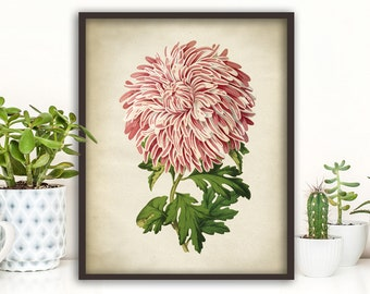 Daisy BOTANICAL print, pink Daisy poster, flower art, vintage Botanical illustration, botanical wall decor, dorm wall art, antique flower