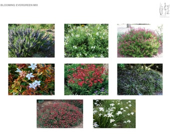 Colorful Southern Blooming Evergreen Mix