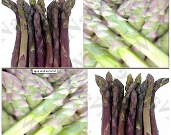 ARGENTEUIL PURPLE Asparagus Seeds ~ A+ French HEIRLOOM - very large flavorful spears