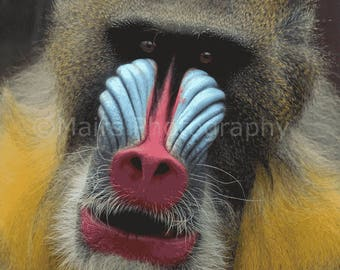 Nursery Decor, Primate Monkey Mandrill Nature Photography, Animal Photography, Fine Art Photography matted & signed 5x7 Original Photograph