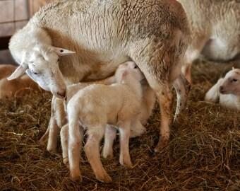 Lamb with Mother, Lamb Photography,  Ewe and Lamb, Newborn Lamb, Nursery Decor, Whimsical Farm Photo, Lamb Portrait, Easter