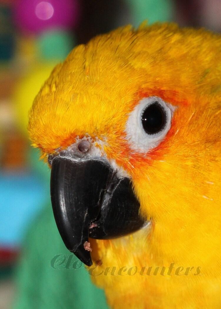 Parrot Jenday Conure Pet Bird Portrait Photograhpy Print
