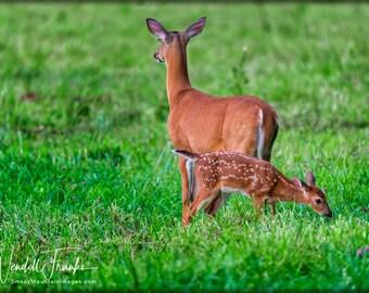 Smoky Mountains Fawn Grazes As Mom Keeps Watch E235