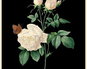 antique french botanical illustration white roses and butterflies DIGITAL DOWNLOAD