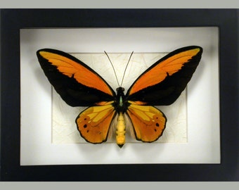Stunning and large Ornithoptera Croesus lydius -Real Framed Butterfly