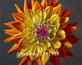 Dahlia Bulbs, (not Dahlia Seeds), Holland Dahlia Flower 3 Bulbs (item No: 9)