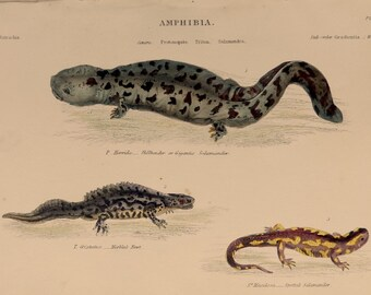 """1862.Antique print.Antique Salamander print.Engraving hand colored.155 year old print. Museum of Natural History.Amphibia.10.6x7"""",18x27 cm."""